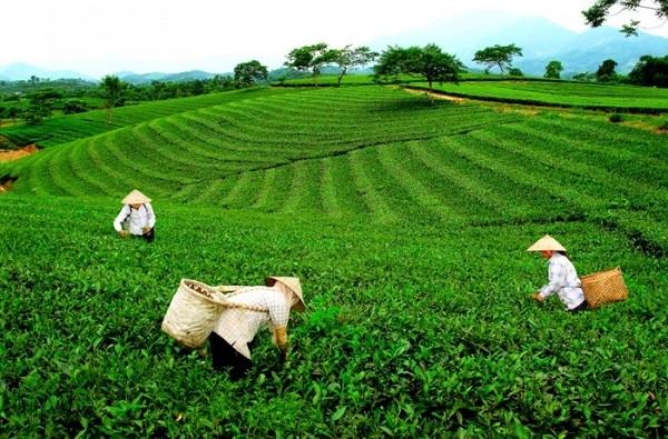 Nguồn gốc chè Thái Nguyên tiêu thụ trên thị trường